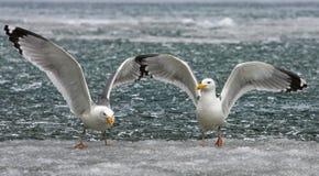 bajkal seagull Στοκ εικόνα με δικαίωμα ελεύθερης χρήσης