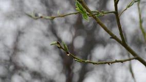 Bajo descensos de los árboles de lluvia de primavera con los brotes verdes metrajes