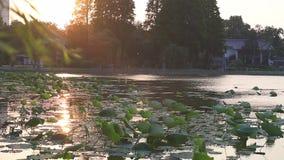 Bajo puesta del sol de oro, el loto en el lago en el lago Xuanwu, Nanjing metrajes