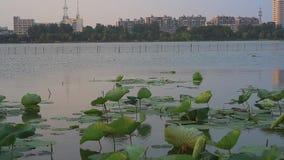 Bajo puesta del sol de oro, el loto en el lago en el lago Xuanwu, Nanjing almacen de video
