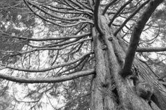 Bajo tono blanco y negro del roble foto de archivo