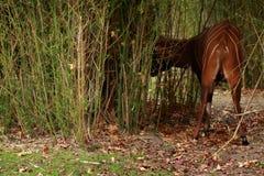 Bak av bongo Royaltyfria Bilder