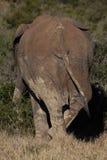Bak av den enkla elefanten i afrikansk buske Arkivfoton