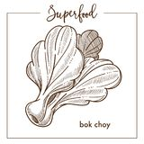Bak Chay bushy vegetable monochrome superfood sepia sketch. Delicious healthy product composed of big leaves in frame with species name isolated cartoon flat Royalty Free Stock Photo