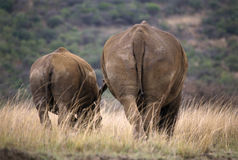 bak noshörning två royaltyfria foton