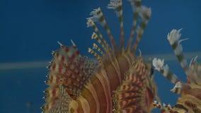 Bak och ryggar av lionfishen stock video
