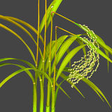Bakanae disease on rice plant Stock Image