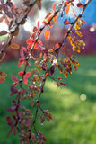 Bakbelyst barberrybuske Arkivbilder