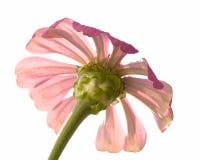 bakbelyst blomma Royaltyfria Bilder
