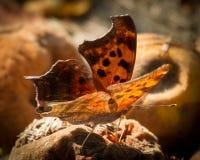 Bakbelyst fråga Mark Butterfly Royaltyfria Bilder