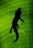 Bakbelyst gecko royaltyfria bilder