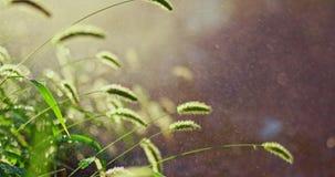 Bakbelyst gräs i regnig dag stock video