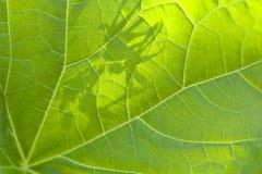 bakbelyst grön leafmakrosun Arkivfoton