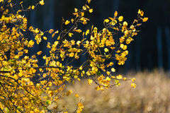 Bakbelyst höstlövverk i guld- ljus i Espoo, Finland royaltyfri bild