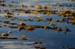 Bakbelyst jätte- brunalg på stillhetblåtthavet Arkivbilder