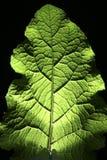 bakbelyst leaf Royaltyfri Fotografi