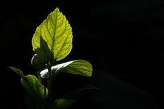 bakbelyst leaf Arkivfoton