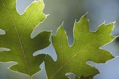 bakbelyst leavesoak royaltyfri bild