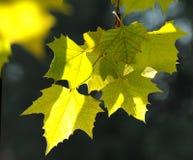 bakbelyst leavesyellow Arkivbild
