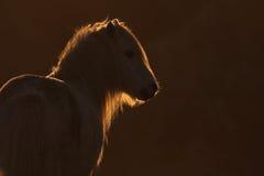 bakbelyst ponny wild welsh Royaltyfria Foton