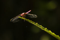 Bakbelyst röd slända på det försåg med en hulling växtbladet Royaltyfri Fotografi