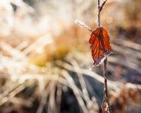 Bakbelyst rött blad och frostnärbild Arkivbilder