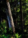 bakbelyst skog royaltyfri foto