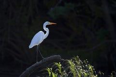 Bakbelyst stor vit Heron Arkivbilder