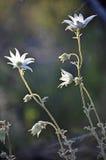 Bakbelysta australiska flanellblommor Royaltyfri Foto