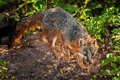 Bakbelysta Grey Fox (Urocyoncinereoargenteusen) Arkivbild