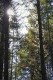 Bakbelysta mossahängningar från träd på konungdalhuvudvägen i Oregon royaltyfria bilder