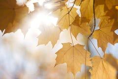 Bakbelysta nedgånglönnlöv i solsken royaltyfri foto