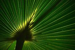 Bakbelysta palmblad Arkivbilder