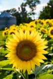 Bakbelysta solrosor i ett fält Fotografering för Bildbyråer