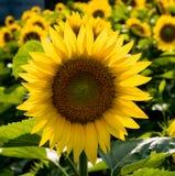 Bakbelysta solrosor i ett fält Royaltyfria Foton