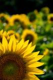 Bakbelysta solrosor i ett fält Arkivbild