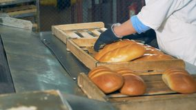 Baker is taking baked bread from the conveyor in a bread bakery. A baker in a white robe and protective gloves, is taking baked bread from the conveyor and stock video footage