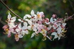 Bakeriana της Cassia, που επιθυμεί το δέντρο, ρόδινο ντους, ρόδινο cassia στοκ εικόνες