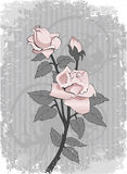 Bakground con il colore rosa è aumentato Fotografia Stock