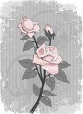 Bakground met roze nam toe Stock Foto