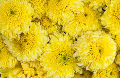 bakground with yellow chrysanthemums flowers Royalty Free Stock Photo