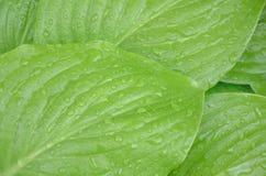 Bakgrund är ljus - göra grön med droppar av regnvatten på de stora sidorna av växten Arkivfoton