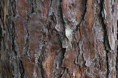 Bakgrund är sörjer skället av sörjaträdet Bildbruk för bakgrundstextur, design som annonserar del 2 royaltyfri foto