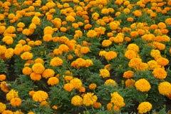 Bakgrund alldeles av orange blommor av den Tagetes erectaen arkivfoton