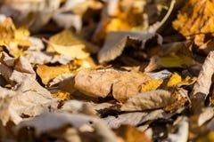 Bakgrund av Autumn Colorful Yellow Leaves Arkivfoton