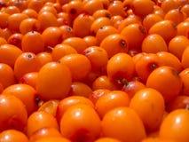 Bakgrund av berryes för havsbuckthorn Royaltyfria Foton