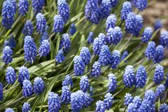 Bakgrund av blåa blommor royaltyfri foto