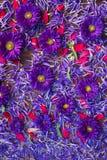 Bakgrund av blåa och röda blommor Royaltyfri Foto