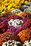 Bakgrund av blommande krysantemum Arkivfoto