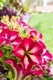Bakgrund av blommande petunior Arkivfoton